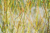 Close-up of willow type plants with new buds on their branches