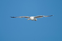 Herring Gull (Larus argentatus) in flight, Cherry Hill Beach, Nova Scotia, Canada