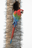 A green-winged or red-and-green macaw (Ara chloropterus) is investigating a nesting hole on a palm tree (Acrocomia aculeata) with spikes, Bonito, Brazil<br /> <br /> Ein Gr&uuml;nfl&uuml;gel oder Dunkelroter Ara untersucht eine Nisth&ouml;hle am Stamm einer stachligen Macauba-Palme, Bonito, Brasilien