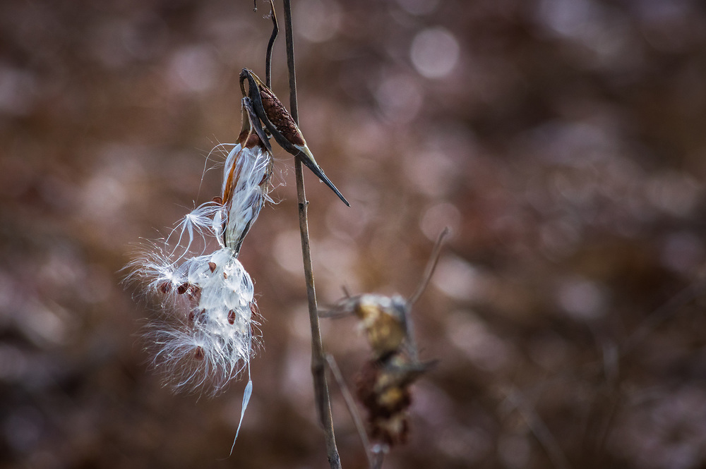 A milkweed pod is shedding its seeds behind a dark background of browns in autumn, taken in Shenandoah National Park, Virginia.
