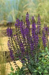Salvia x sylvestris  'Mainacht'