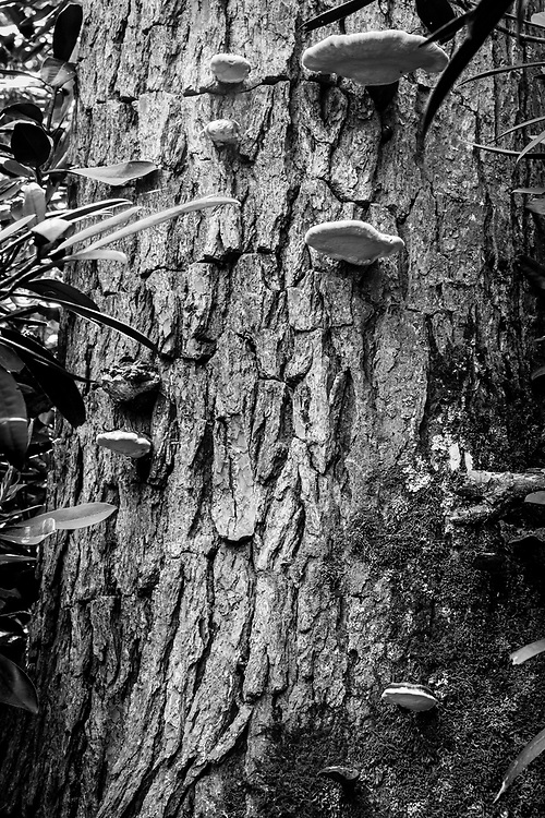 Intriguing compositions of the hemlock varnish shelf (Ganoderma tsugae) mushroom on the Pine Gap Trail in Linville Gorge, North Carolina.