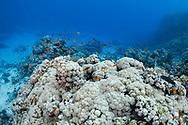 Anthias (Anthias anthias) of Red Sea, Sudan.
