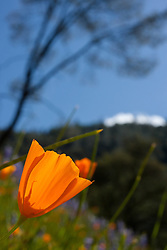"""""""California Poppies 2"""" - These wild California Poppy flowers were photographed near Windy Pt. along the North Fork American River."""