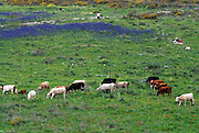 Cows grazing in a blooming spring field blue lupin