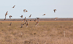 A flock of Flock Bronzewings on Mandorah Station, south of Broome.