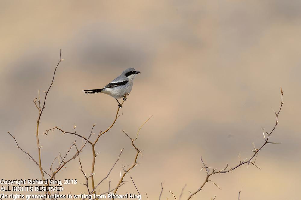 Dragoon Mountains birding photographs Arizona, USA