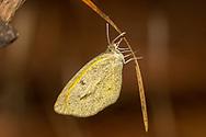 Barred Yellow - Hodges#4243 (Eurema daira)<br /> United States: Alabama: Tuscaloosa Co.<br /> Tulip Tree Springs off Echola Rd.; Elrod<br /> 23-Oct-2017<br /> J.C. Abbott #3008