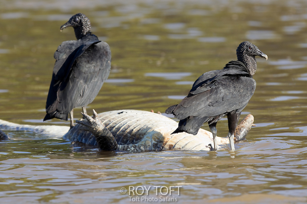 Black vultures feeding on a dead Spectacled caiman, Pantanal, Brazil