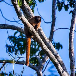"""Com a cara preta e corpo que varia do marrom avermelhado ao bege, o guigó (Callicebus personatus) é uma espécie rara e está ameaçada de extinção, considerada """"vulnerável"""" pela lista da União Internacional para Conservação da Natureza (IUCN). Sua vocalização, quando gritam em bando, ecoa por toda a floresta.<br /> ENGLISH: With its black face and a body color ranging from reddish brown to beige, the Atlantic Titi (Callicebus personatus) is a rare and threatened species. It is """"vulnerable"""" according to the red list of the International Union for Conservation of Nature (IUCN). When screaming in groups, its call echoes throughout the whole forest."""