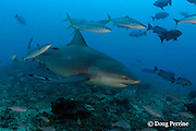 rainbow runner, Elagatis bipinnulata ( a jack fish or trevally ) rubs itself against a bull shark, Carcharhinus leucas, at Shark Reef Marine Reserve, Beqa Passage, Viti Levu, Fiji ( South Pacific Ocean )
