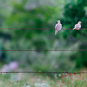 Mourning Doves on a barbed wire fence line in the Coastal Bend Area of Texas.