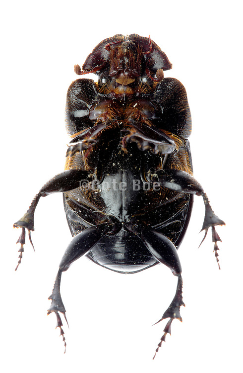 black beetle insect seen from underside