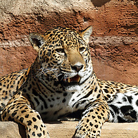 A Jaguar, Panthera onca, laying on an overhang. Turtleback Zoo, West Orange, New Jersey.