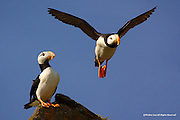 Horned Puffin<br />