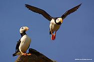 Horned Puffin<br /> Duck Island, Alaska<br /> <br /> Horned Puffins spend most of their life on the high seas of the northern Pacific Ocean, coming ashore only to nest and raise their chicks in colonies on islands and along coastlines.<br /> <br /> Edition of 500