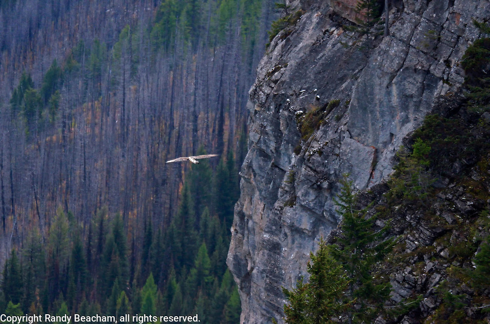 A juvenile bald eagle soars by the face of Limestone Peak in the Flathead Mountain Range. From my 2013 Artist-in-Wilderness Connection program residency run by the Flathead National Forest, Hockaday Museum of Art, Bob Marshall Wilderness Foundation and the Swan Ecosystem Center. Flathead Naitonal Forest, northwest Montana.