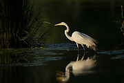 Great Egret High Contrast