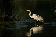 Great Egret High Contrast