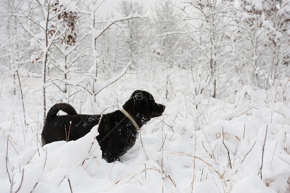 a beautiful Chow dog standing in the snow covered woods of rural South Carolina