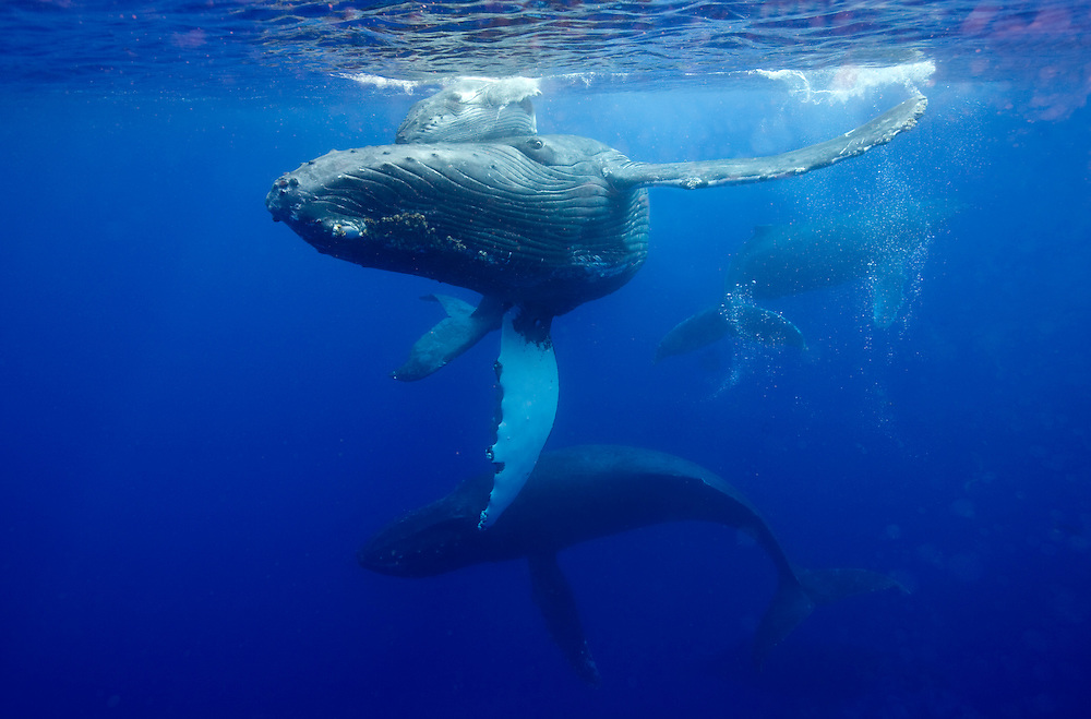 USA, Hawaii, Big Island, Underwater view of Humpback Whale and calf (Megaptera novaengliae) circling while surrounded by males in Pacific Ocean