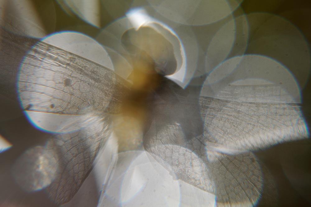Club-tailed Dragonfly, Gomphus vulgatissimus, (Odonata, Gomphidae). <br /> Stenje region, Lake Macro Prespa (850m) <br /> Galicica National Park, Macedonia, June 2009<br /> Mission: Macedonia, Lake Macro Prespa /  Lake Ohrid, Transnational Park<br /> David Maitland / Wild Wonders of Europe