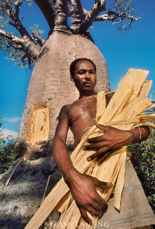 Vezo man with bark cut from baobab tree for making rope, Western Madagascar
