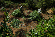 Police officials drag marijuana plants to a shredder on Wednesday, Aug. 23, 2017, in Willits, Calif. A search warrant led by the Mendocino County Sheriff's Department found more than 800 marijuana plants.