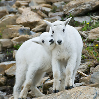 mountain goat kids glacier national park, baby goats, baby mountain goat,