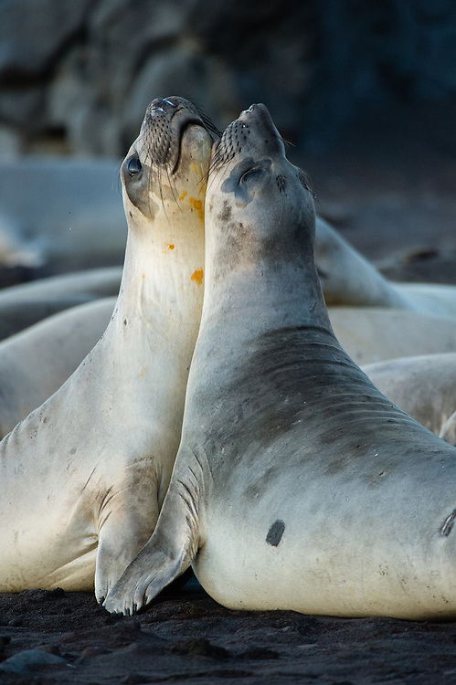 Northern Elephant Seals (Mirounga leonina)<br />