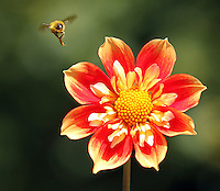 A bee approaches a pooh dahlia in bloom in the Dahlia Trial Garden in Point Defiance Park, in Tacoma, August 12, 2011.  The garden is currently in full bloom.(Janet Jensen/Staff photographer)