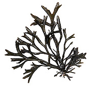CHANNELLED WRACK<br /> PELVETIA CANALICULATA