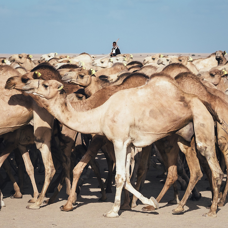 A camel herd moving from Halayeb to Shalateen. They arrive from Ethiopia and Sudan, go through Shalateen then get transported all the way up to Birqash camel market in Giza.