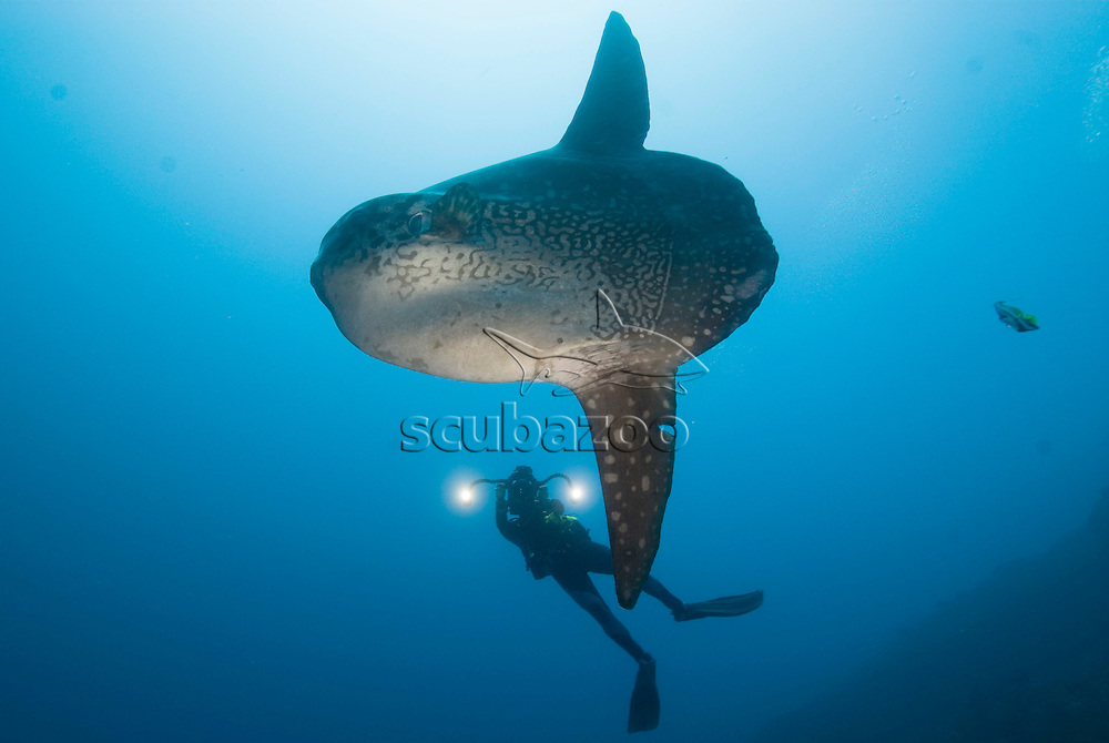 Ocean Sunfish, Mola mola, being filmed, Great Ocean Adventures shoot, Bali, Indonesia.