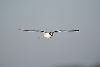 Juvenile Common Tern (Sterna hirundo) in flight, Cherry Hill Beach, Nova Scotia, Canada