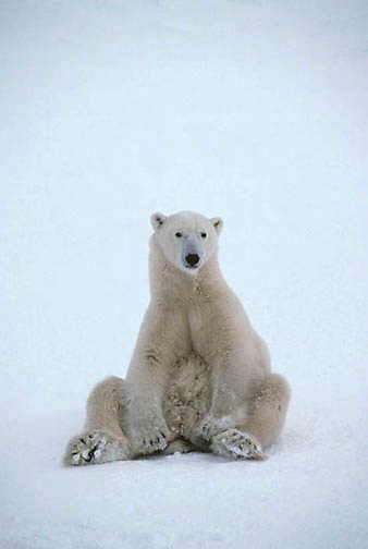 Polar Bear, (Ursus maritimus) Sitting up. Churchill, Manitoba. Canada.