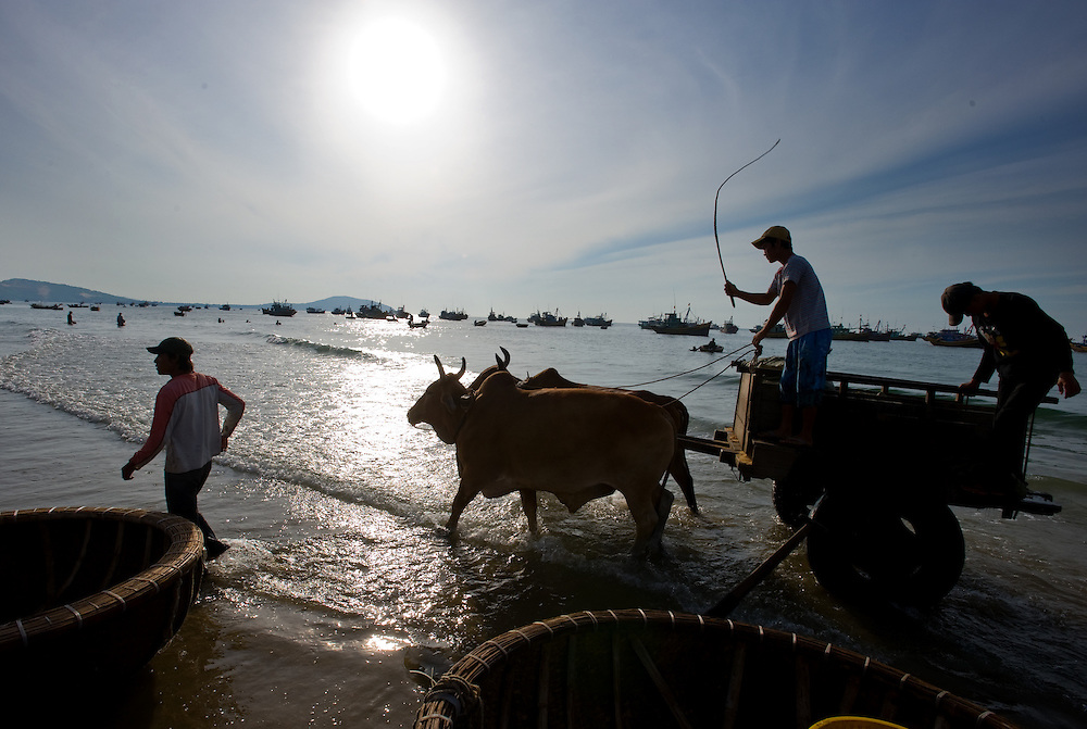 Fish are loaded then transported off the shore by oxen and cart.
