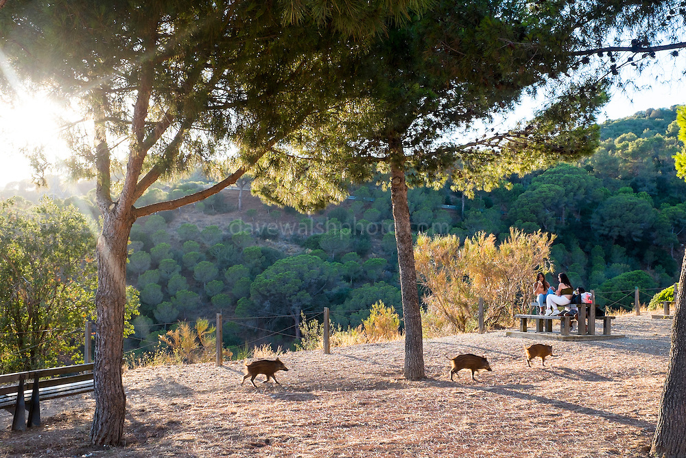 Baby porc senglar, or wild boar at the Mirador de Montbau in the Serra de Collserola, above Barcelona (1.6 million people), Catalonia, Spain. Feeding the wild pigs - which can be a dangerous activity, is actively discouraged by the authorities, as it leads to population booms, and the boar also get used to human food, meaning they come into suburban areas to feed at night. In September 2016, researchers from Universitat Autònoma de Barcelona (UAB) plan to start vaccinating some of the port senglars with contraceptives, to cut the population growth. Authorities estimate that the sustainable population for the Parc Natural de Collserola is around 300-400 - however, the current population is could have reached 1,500. Authorities have been hunting the pigs with dogs in order to control the population.