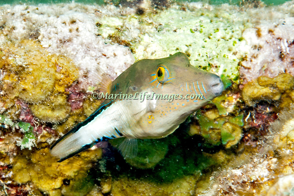 Sharpnose Puffer swim about reefs and seagrass beds in Tropical West Atlantic; picture taken Key Largo, FL.