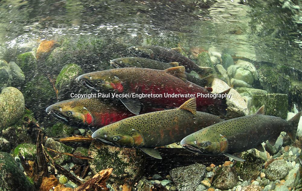 Coho Salmon<br /> <br /> Paul Vecsei/Engbretson Underwater Photography