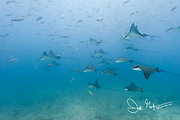 A squadron of spotted eagle rays swim in the nutrient rich waters of the Galapagos Islands.