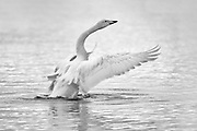 The whooper swan spends much of its time swimming, straining the water for food.