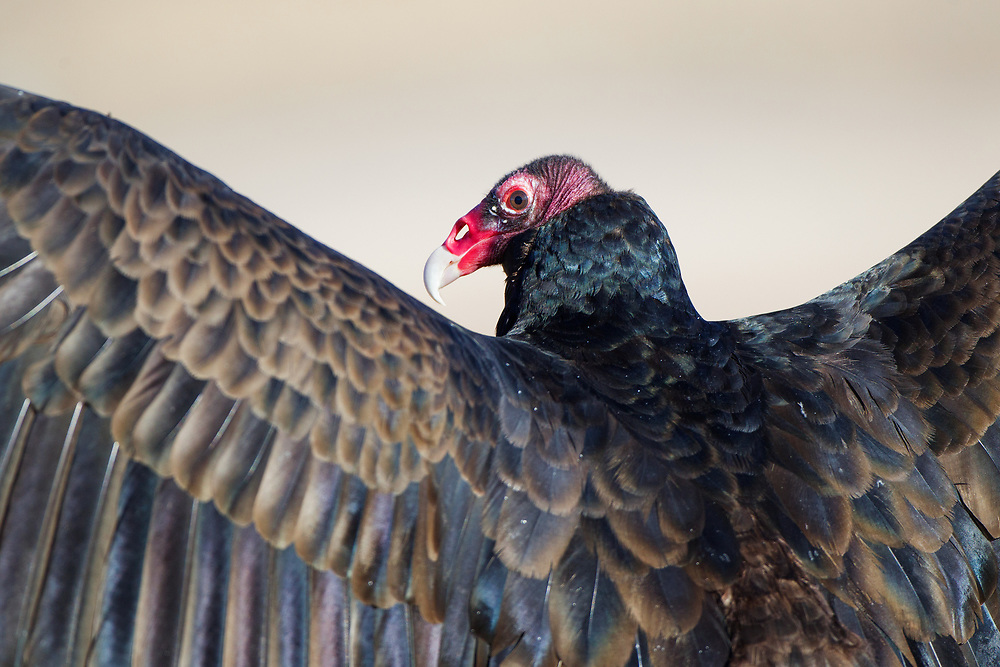 Stock photo of captive turkey vulture captured in Colorado.  These birds eat carrion almost exclusively.  Their bills and talons are strong enough to kill prey.