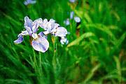 Vintage textured spring background with Louisianna hybrid iris (Iridaceae)