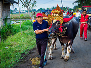 30 JULY 2017 - TUWED, JEMBRANA, BALI, INDONESIA: A man leads his team of water buffalo to the starting line of a makepung (buffalo race) in Tuwed, Jembrana in southwest Bali. Makepung is buffalo racing in the district of Jembrana, on the west end of Bali. The Makepung season starts in July and ends in November. A man sitting in a small cart drives a pair of buffalo bulls around a track cut through rice fields in the district. It's a popular local past time that draws spectators from across western Bali.    PHOTO BY JACK KURTZ