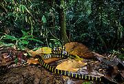 Mangrove tree snake; Boiga dendrophila; mildly venomous; Borneo;