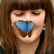 London April 24  Newly hatched butterflies spread their wings and take flights  into the Natural History Museum new Butterfly Jungle exhibition ahead of next week opening on May 1st (Jane Lucas from the Natural History Museum)...Standard Licence feee's apply  to all image usage.Marco Secchi - Xianpix tel +44 (0) 845 050 6211 .e-mail ms@msecchi.com .http://www.marcosecchi.com