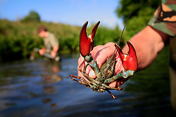 UK ENGLAND WILTSHIRE 26JUN08 - River keeper John Hounslow shows an American Blue Crayfish caught while cutting weeds in the riverbed of the Kennet near Stichcoombe in rural Wiltshire, western England...jre/Photo by Jiri Rezac / WWF UK..© Jiri Rezac 2008..Contact: +44 (0) 7050 110 417.Mobile:  +44 (0) 7801 337 683.Office:  +44 (0) 20 8968 9635..Email:   jiri@jirirezac.com.Web:     www.jirirezac.com..© All images Jiri Rezac 2008 - All rights reserved.