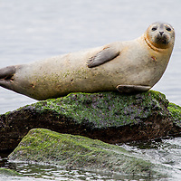 A harbor seal suns itself on exposed rocks on the bay side Sandy Hook National Park part of the National Gateway Recreation Area