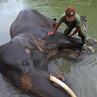 A mohout washes an adult bull elephant in the river at Tangkahan.